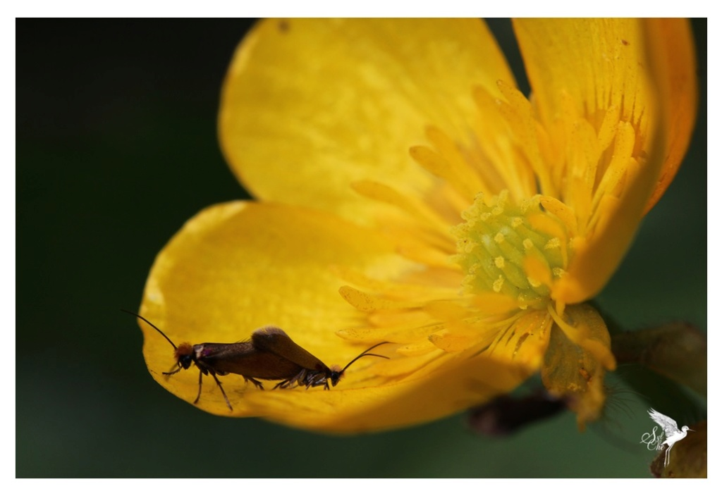 Micropterix calthella 1139