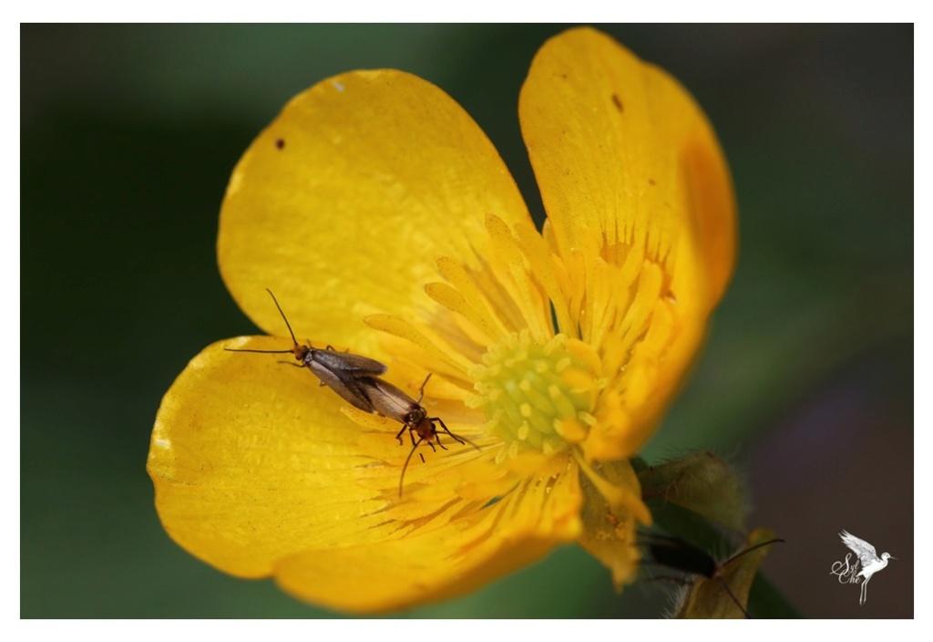 Micropterix calthella 1241