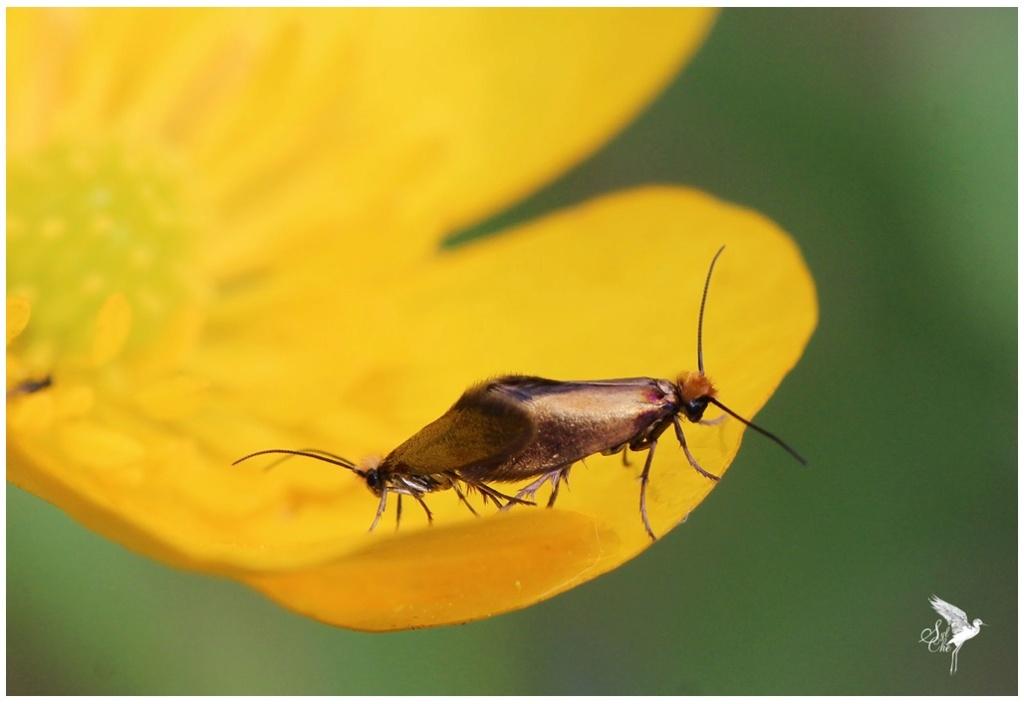 Micropterix calthella 1337