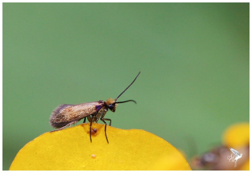 Micropterix calthella 1435