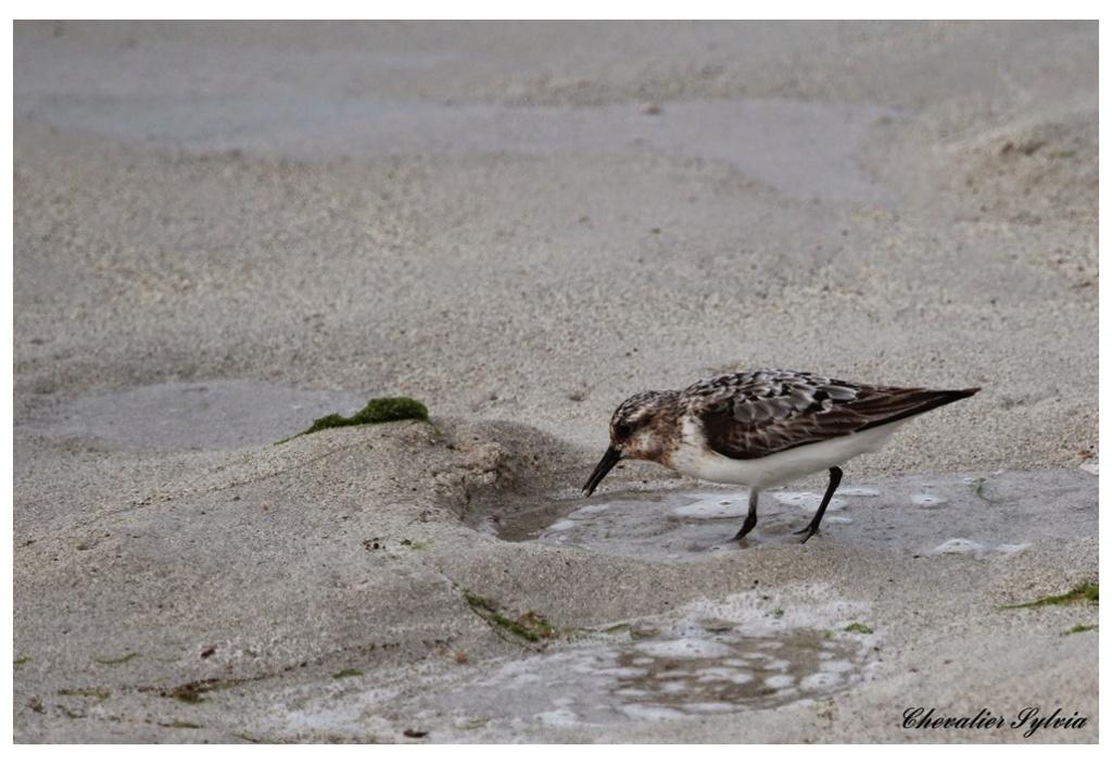 Bécasseau sanderling 145