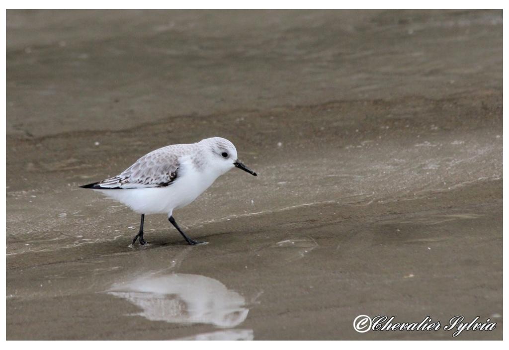 Bécasseau sanderling 2213
