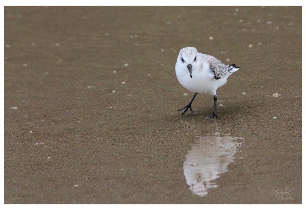 Bécasseau sanderling 2313