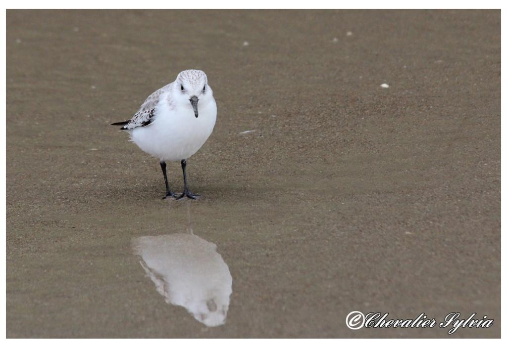 Bécasseau sanderling 2416