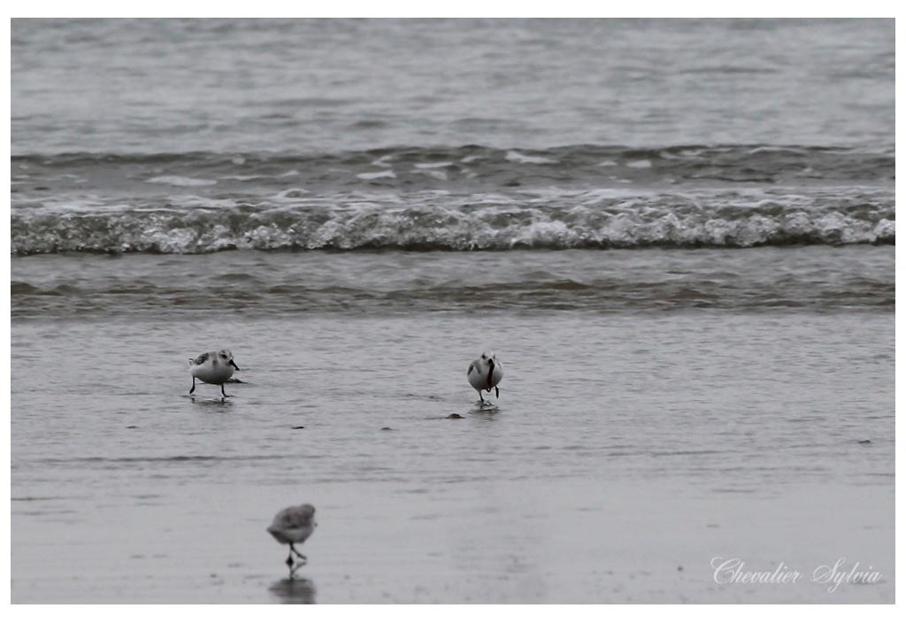 Bécasseau sanderling 2513