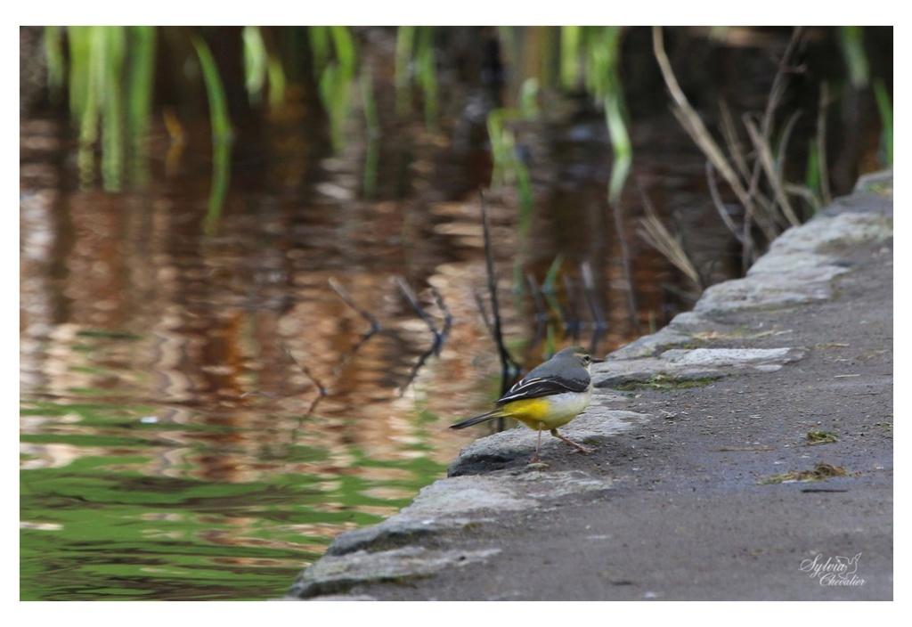 Bergeronnette des ruisseaux 261