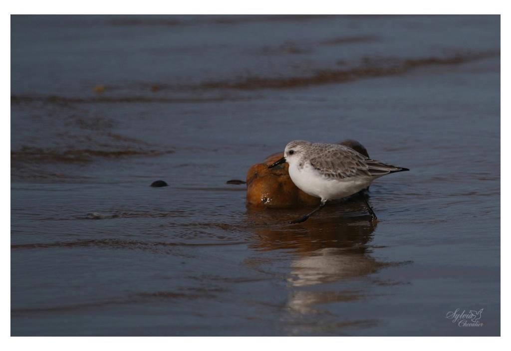 Bécasseau sanderling 2715