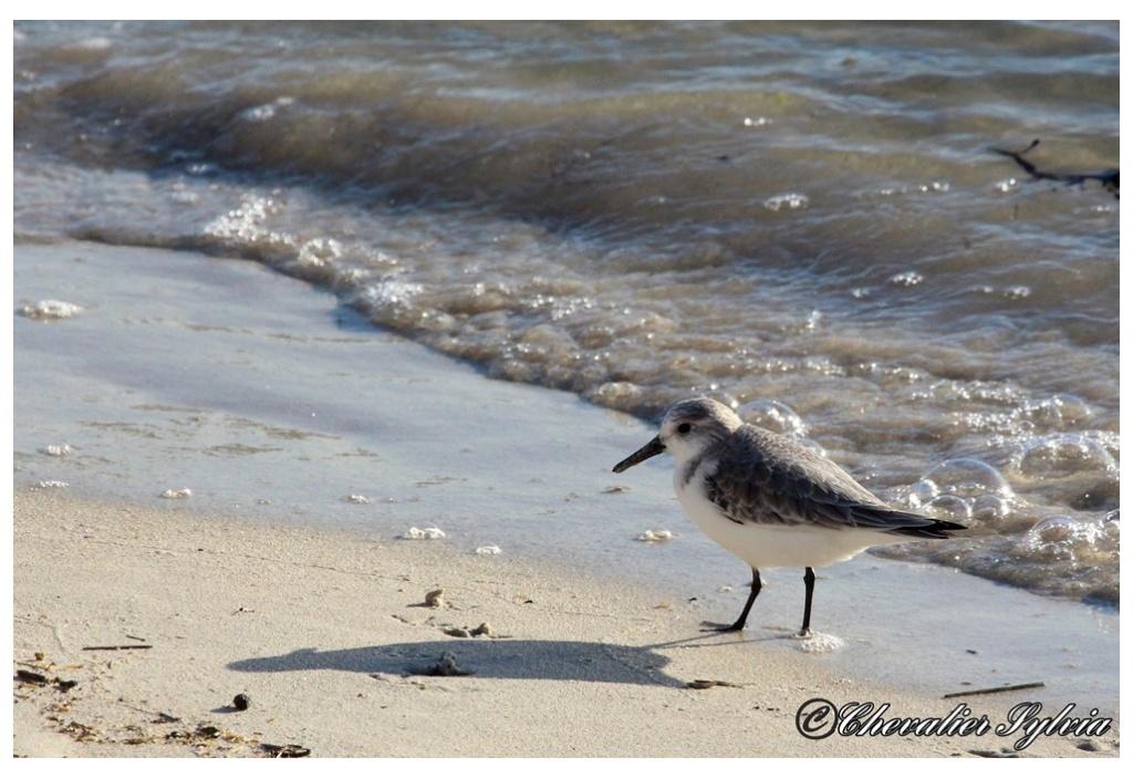 Bécasseau sanderling 2814