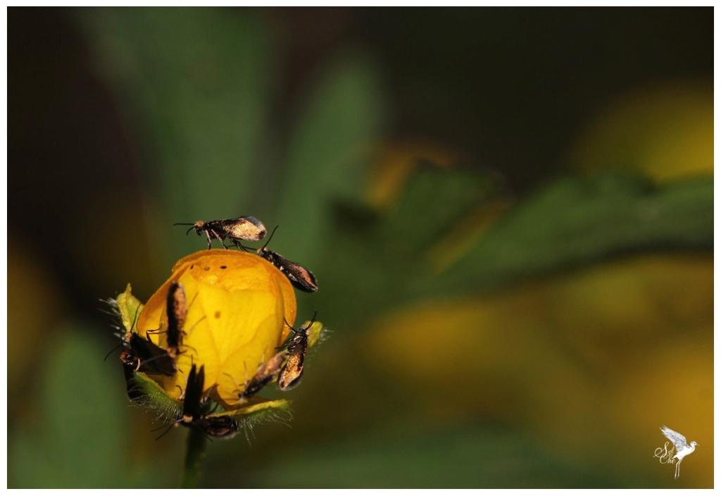 Micropterix calthella 293