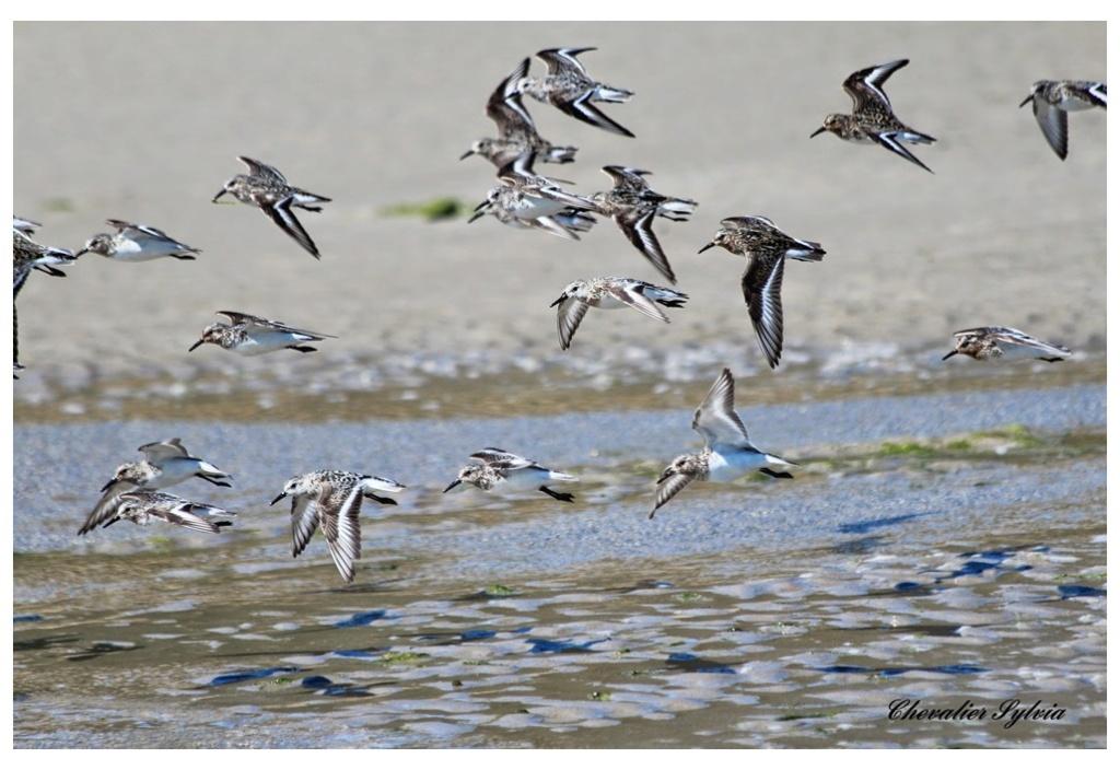 Bécasseau sanderling 3012