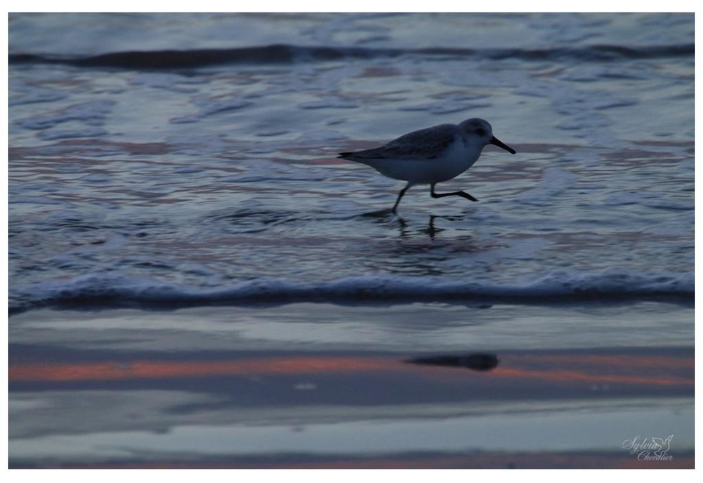 Bécasseau sanderling 3112