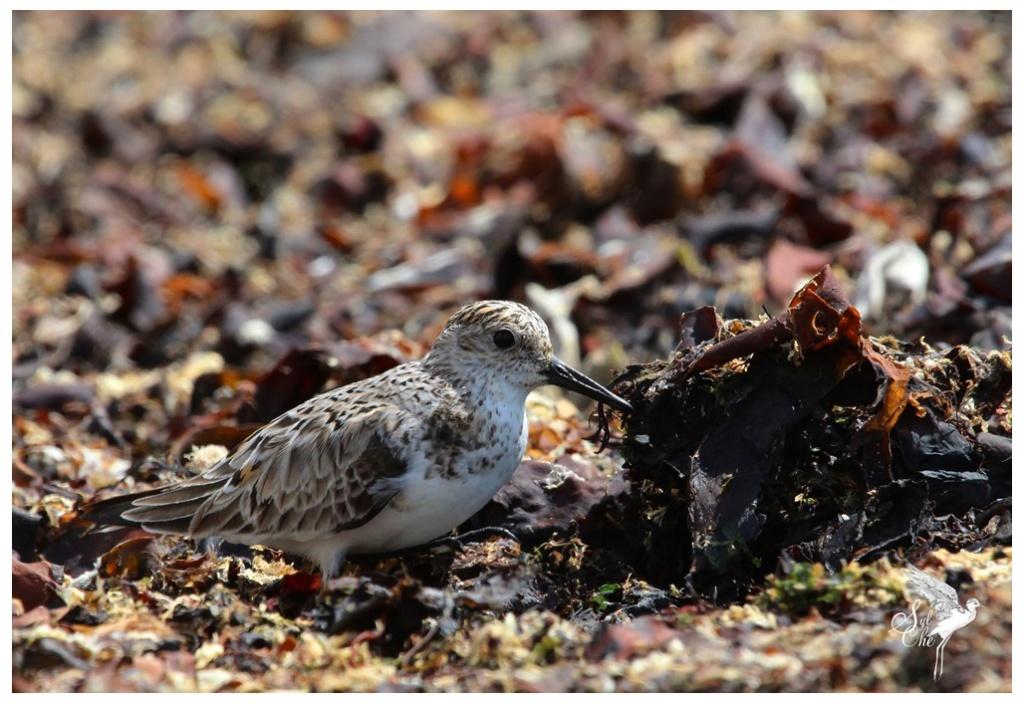 Bécasseau sanderling 3411