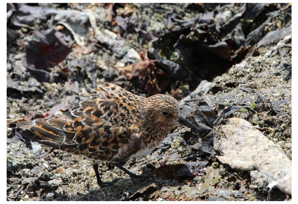 Bécasseau sanderling 3511