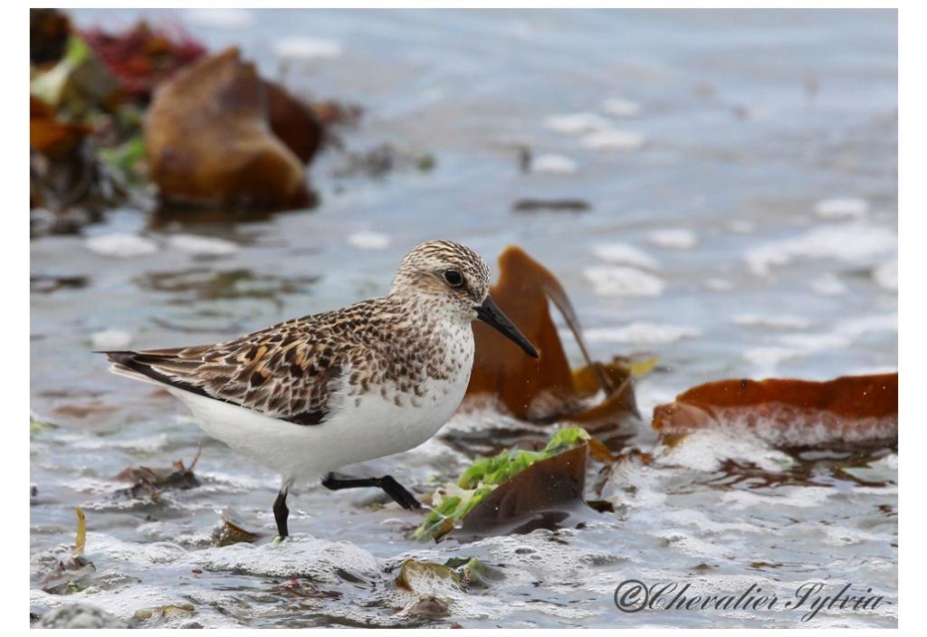 Bécasseau sanderling 3611