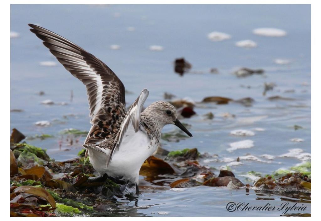 Bécasseau sanderling 3711