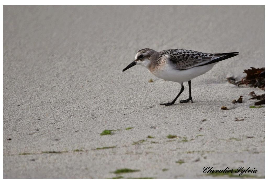 Bécasseau sanderling 444