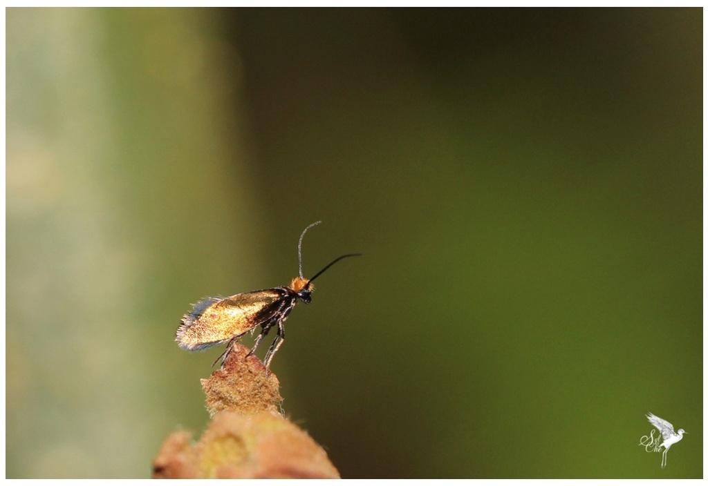 Micropterix calthella 481