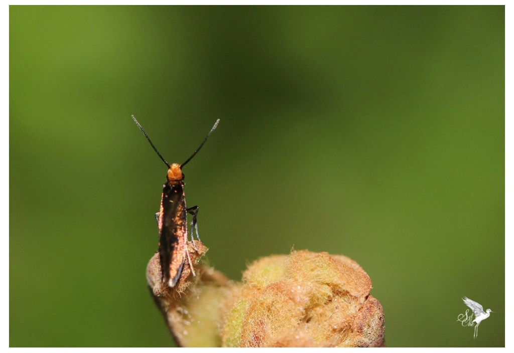 Micropterix calthella 564