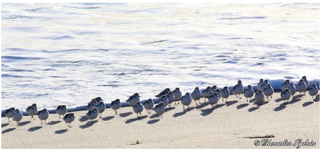 Bécasseau sanderling 723