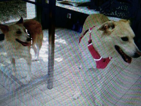 DIANA - femelle Labrador x Retriever de grande taille, née environ février 2010 (Camelia)- en FA chez Tamara (57) - réservée adoption par Yoda (Belgique)  - Page 2 46507410