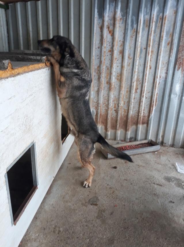 WOLF !! Plus de 3 ans de box !!  mâle croisé berger - grande taille - né env 2014 (PASCANI) - REMEMBER ME LAND - Page 4 47574914