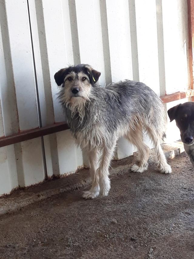 KAYLA - x griffon 3 ans (3 ans de refuge)  Asso Remember Me (Roumanie) 47683412