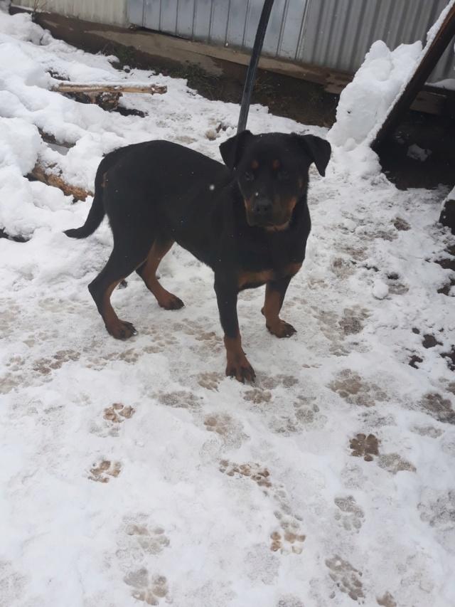 RIHANNA - femelle Rottweiler de taille moyenne, née environ en  2015 (PASCANI) - adoptée par Jessica (Belgique) 48365111
