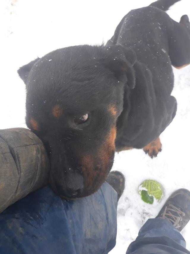 RIHANNA - femelle Rottweiler de taille moyenne, née environ en  2015 (PASCANI) - adoptée par Jessica (Belgique) 48369815