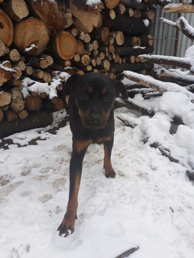 RIHANNA - femelle Rottweiler de taille moyenne, née environ en  2015 (PASCANI) - adoptée par Jessica (Belgique) 48372112