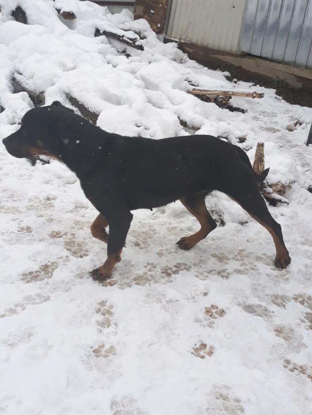 RIHANNA - femelle Rottweiler de taille moyenne, née environ en  2015 (PASCANI) - adoptée par Jessica (Belgique) 48388912