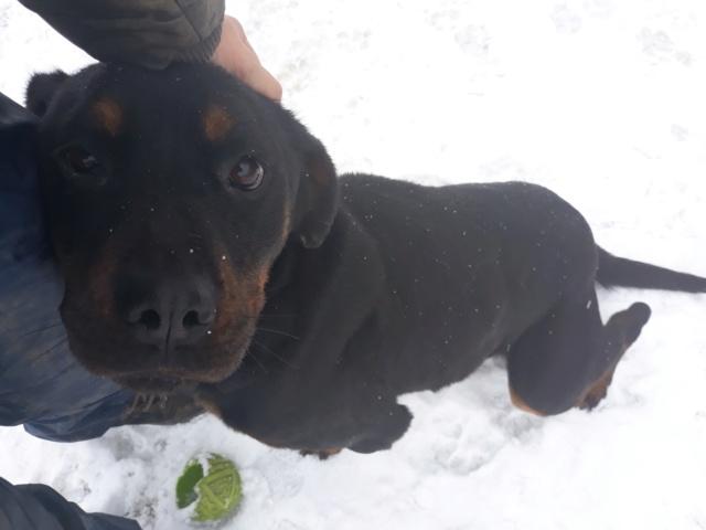RIHANNA - femelle Rottweiler de taille moyenne, née environ en  2015 (PASCANI) - adoptée par Jessica (Belgique) 48392410