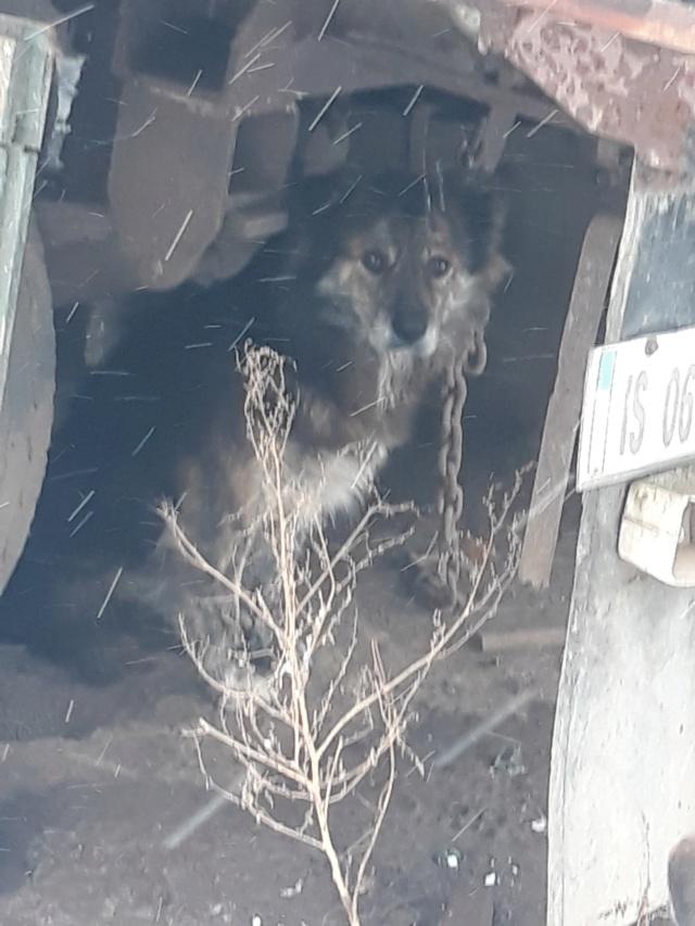 cougar - COUGAR - mâle croisé de taille moyenne, né en 2010  (PASCANI) - REMEMBER ME LAND 48392811