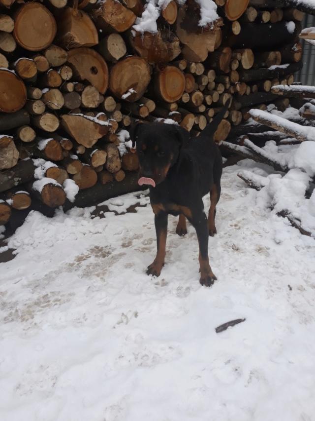 RIHANNA - femelle Rottweiler de taille moyenne, née environ en  2015 (PASCANI) - adoptée par Jessica (Belgique) 48417010