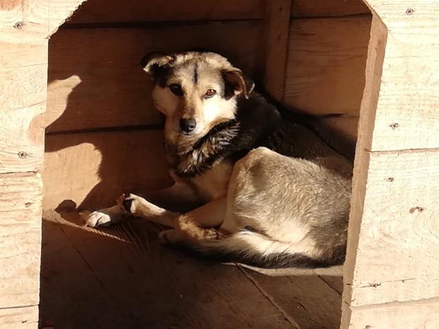 SHIRLEY - femelle croisée, de taille moyenne, née environ en 2011 (PASCANI) - REMEMBER ME LAND 51505811
