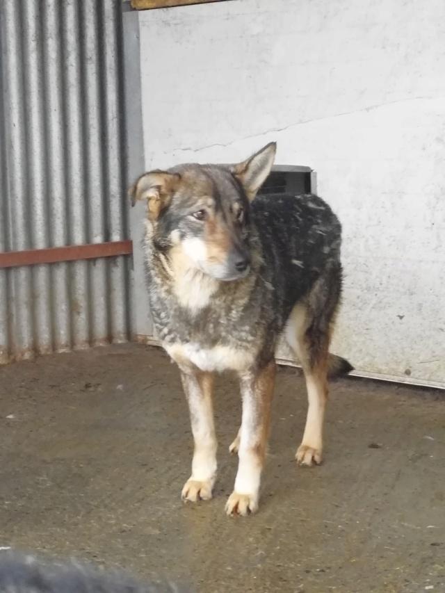 LUPI !! + de 3 ans de box !! - femelle , née environ en 2010, typée chien loup de sarloos, taille moyenne - REMEMBER ME LAND - Page 2 51791310