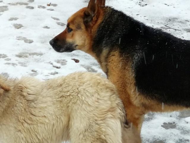 COLONEL - mâle Berger Allemand de grande taille, né en 2011 - (PASCANI) REMEMBER ME LAND - Page 2 51871610