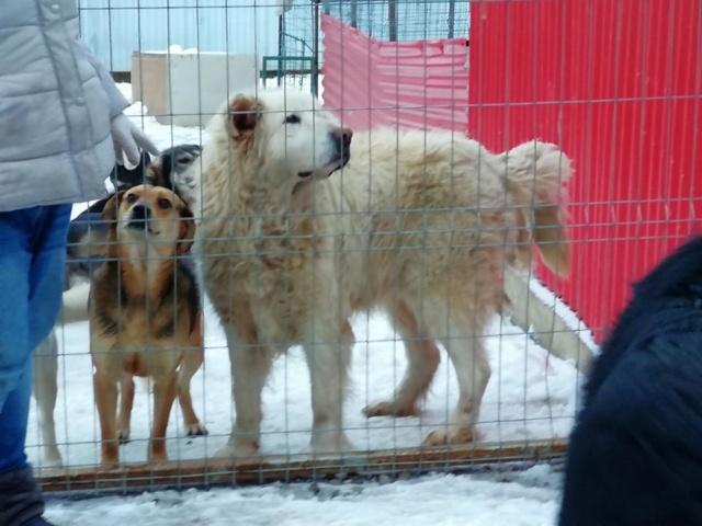 GOLIATH !! + de 3 ans de box !! mâle grande taille, né env 2009, croisé montagne des Pyrénées (Cristesti) - REMEMBER ME LAND - Page 6 51924512
