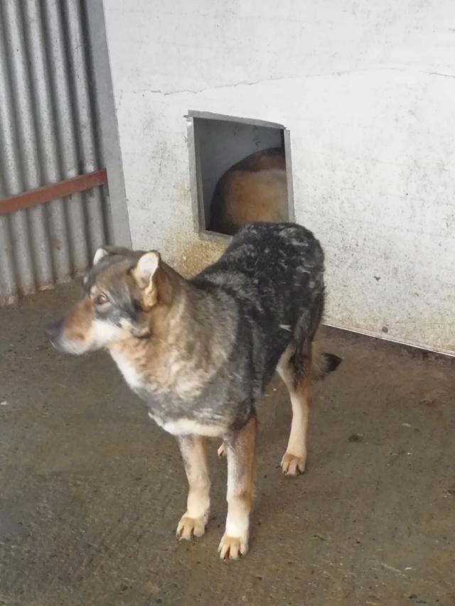 LUPI !! + de 3 ans de box !! - femelle , née environ en 2010, typée chien loup de sarloos, taille moyenne - REMEMBER ME LAND - Page 2 52005810