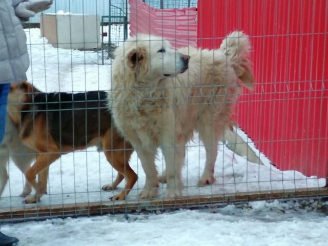 GOLIATH !! + de 3 ans de box !! mâle grande taille, né environ en octobre 2009, croisé montagne des Pyrénées (Cristesti) - REMEMBER ME LAND - En FALD chez Caroline (05) - DECEDE  - Page 6 52699410