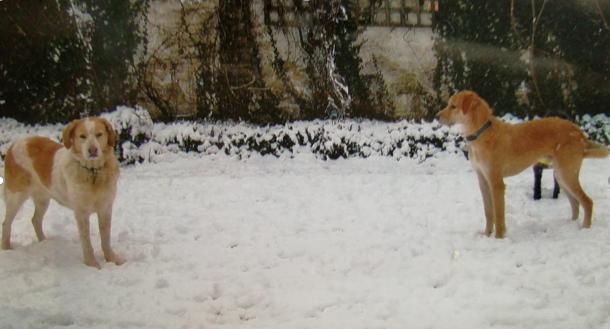 LOUKAS - mâle, croisé, grande taille adulte, né environ novembre 2016 - adopté par Annick (Belgique) - Page 6 Vinnie11