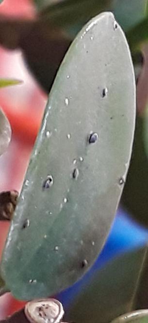 Ficus con plaga ayuda 20190210