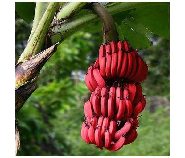 Des bananes rouges ! Banane10
