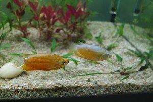 fiche : Trichogaster labiosa 17648_10