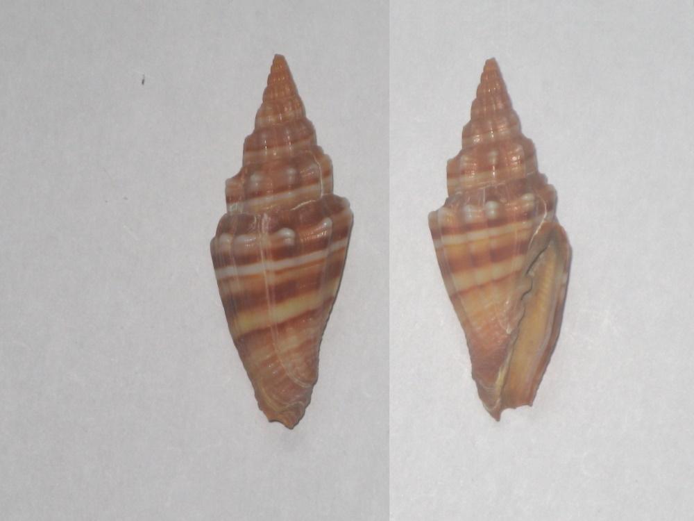 Costellariidae - Vexillum plicarium - (Linnaeus, 1758)  A10