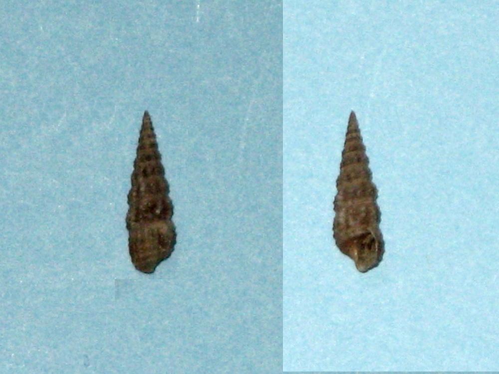 Bittium reticulatum (f) scabrum (Olivi, 1792)   Bittii10