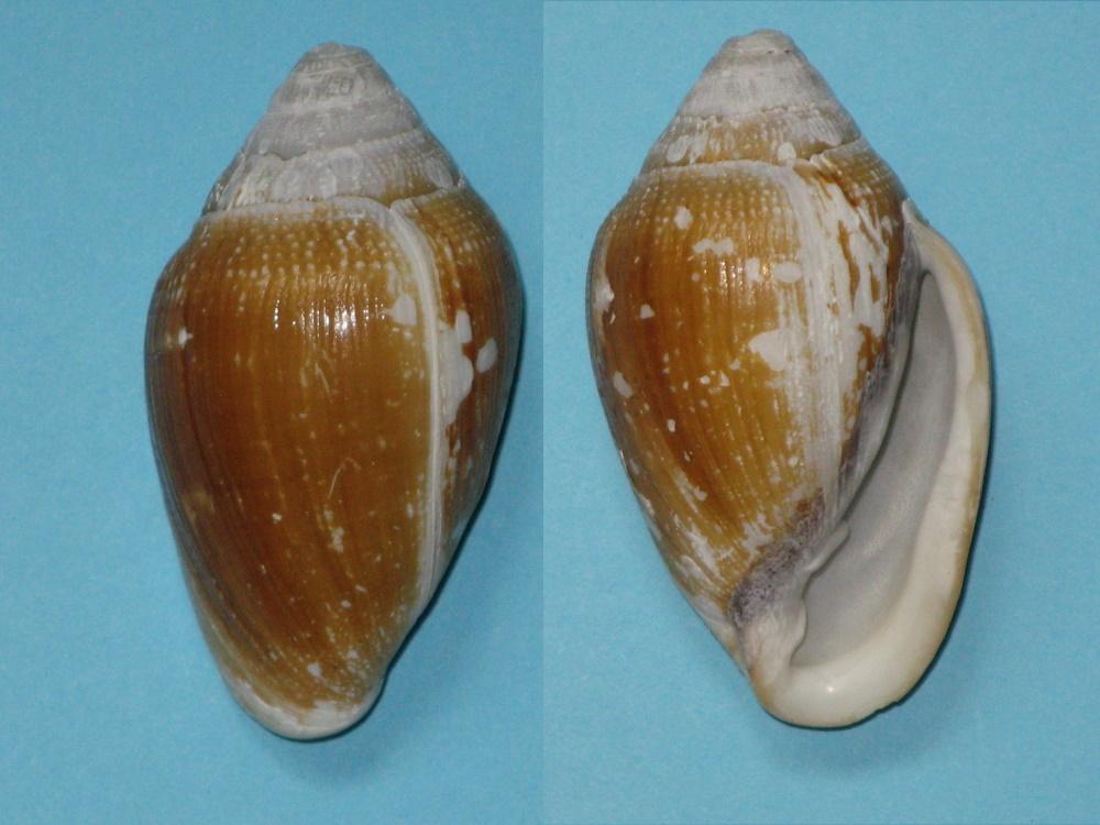Ellobium aurismidae Bulime10