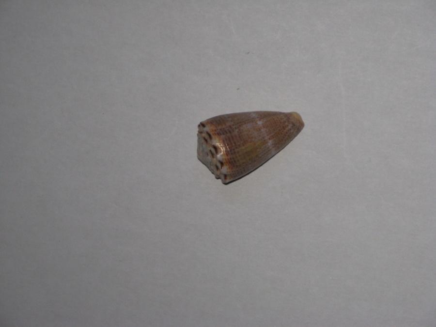 Virroconus encaustus (Kiener, 1845)  Conus_10