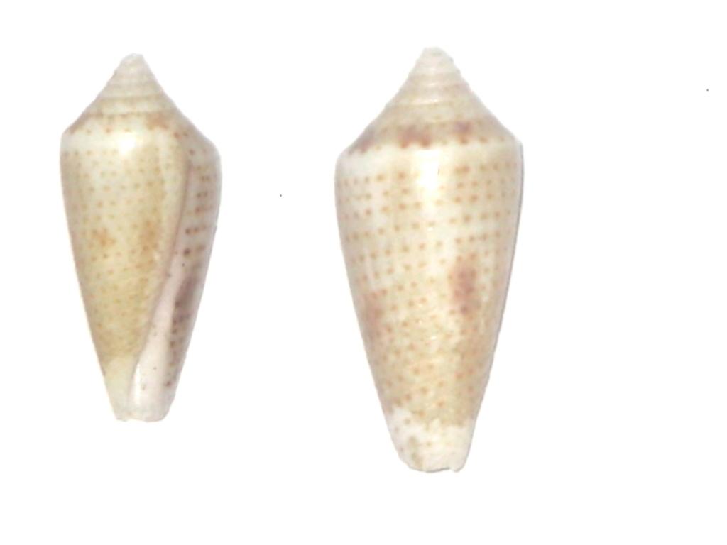 Conasprella (Ximeniconus) ximenes (Gray, 1839) Conus_22