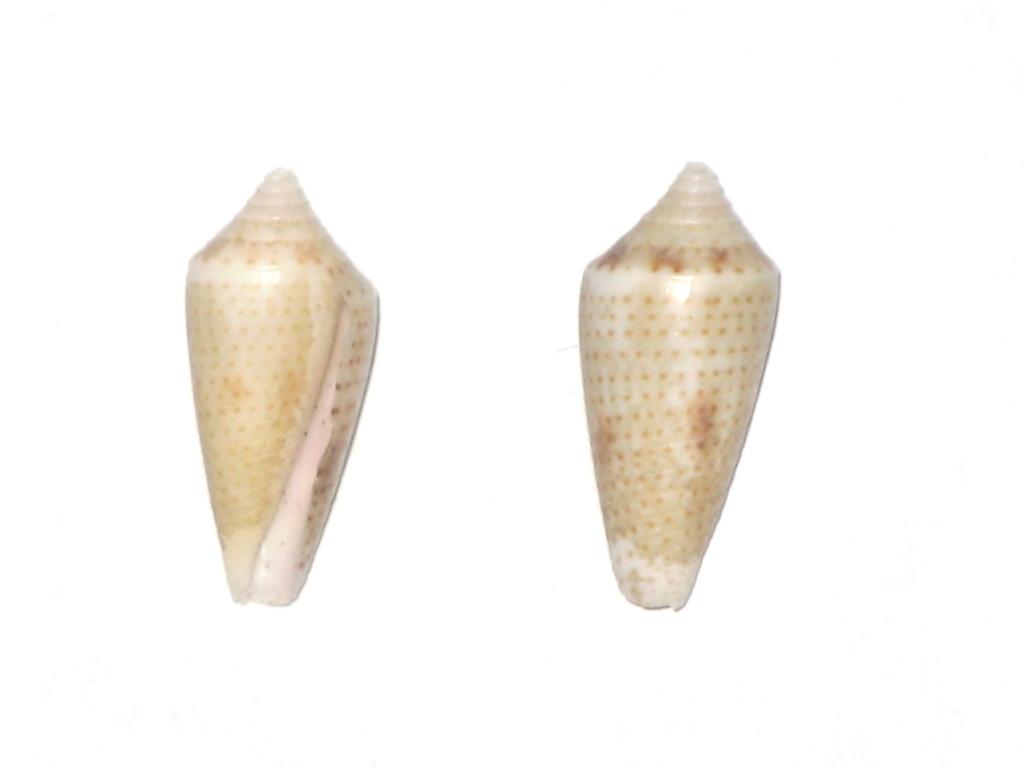 Conasprella (Ximeniconus) ximenes (Gray, 1839) Conus_25