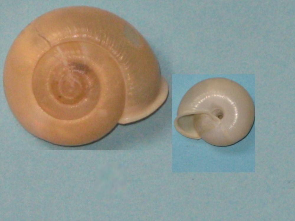 Bradybaenidae, Cyclop10